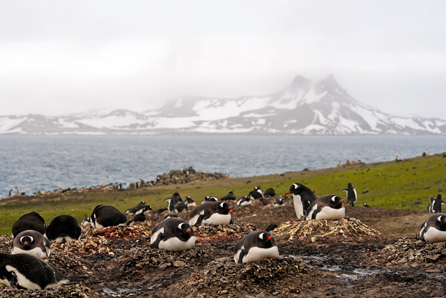 It's nesting season for Gentoo penguins.