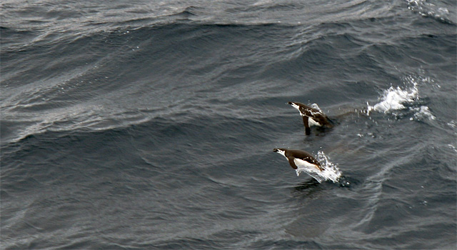 Chinstrap penguins bursting from the water.
