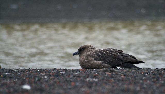 A skua at Deception Island.
