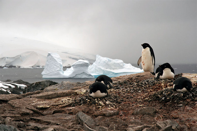 Adelie penguins at Petermann Island.