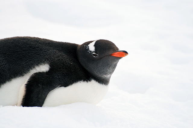 A Gentoo penguin at Jougla Point.